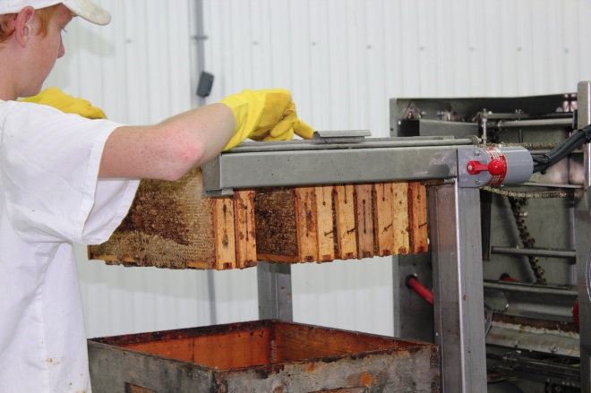 Beary Berry Honey farm - harvesting honey from the comb