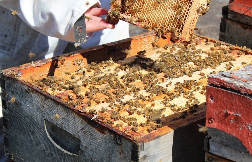 Honeybees on the comb in a Beary Berry Honey hive